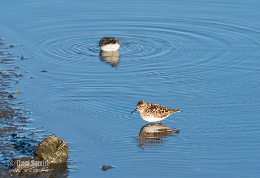 Least Sandpipers, Calidris minutilla, feeding in shallow water at Lower Klamath National Wildlife Refuge, Oregon