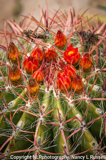 Red-Spined Barrel cactus with buds (Ferocactus pilosus)