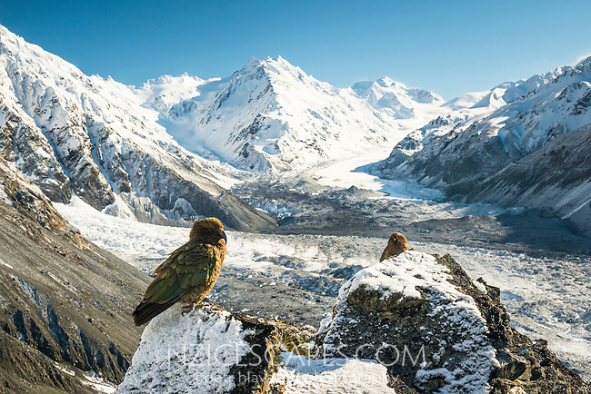 Alpine parrots, Keas on Ball Ridge and Tasman Glacier in morning with De la Beche 2950m in background, Mt. Cook National Park, World Heritage, Mackenzie Country, South Island, New Zealand