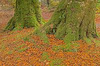Old Beech Trees on the Sleat Peninsula, Isle of Skye