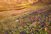 Fields of hairy desert sunflower, in Death Valley often called desert gold (Geraea canescens) and Phacelia, in the Black Mountains, near Ashford Mill, Death Valley National Park, California