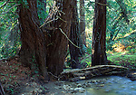 coast redwoods and creek at Fish Ranch