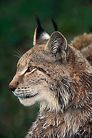 657149022 portrait of a canadian lynx felis lynx - animal is a wildlife rescue - species is endangered in the wild