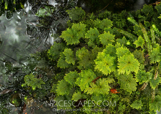 Umbrella moss, Hypopterygium rotulatum, Westland Tai Poutini National Park, West Coast, UNESCO Wolrd Heritage Area, New Zealand, NZ