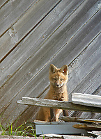 Red Fox kit against old barn