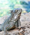 14 August 2009: The Green Iguana with eyes closed (Iguana iguana) is found throughout the island of Bonaire. Taken along the coral coastline at Captain Don's Habitat on the island of Bonaire, in the Netherlands Antilles. Mandatory Credit: Ed Wolfstein Photo