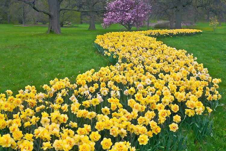 Sunrise light on Daffodils (Daffodil pseudonarcissus) in bloom at The Morton Arboretum; Lisle, IL