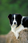 Border Collie<br /> <br /> Shopping cart has 3 Tabs:<br /> <br /> 1) Rights-Managed downloads for Commercial Use<br /> <br /> 2) Print sizes from wallet to 20x30<br /> <br /> 3) Merchandise items like T-shirts and refrigerator magnets