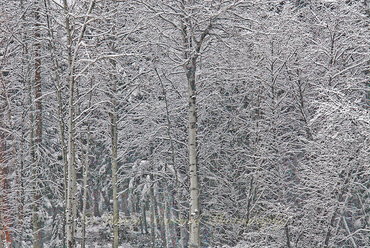 Leafless aspen grove covered in snow. winter has removed most but not all of the color.