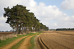 Pine trees and path mark ancient boundary  form a windbreak against soil erosion, Shottisham, Suffolk, England