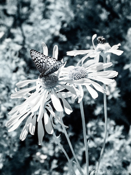 Infrared image of butterfly on daisies