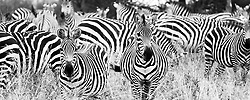 A sea of stripes fill the frame; a small part of a herd of zebra hundreds in size.