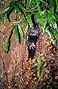 Bobuck or Mountain Brushtail Possum (Trichosurus cunninghamii) in sleeping den in a rainforest myrtle tree. Central Highlands, Victoria.
