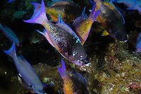 nr0605-D. Creole Wrasse (Clepticus parrae), congregating together at a cleaning station. They advertise that they are ready to be cleaned by hovering head-down. Belize, Caribbean Sea.<br /> Photo Copyright &copy; Brandon Cole. All rights reserved worldwide.  www.brandoncole.com
