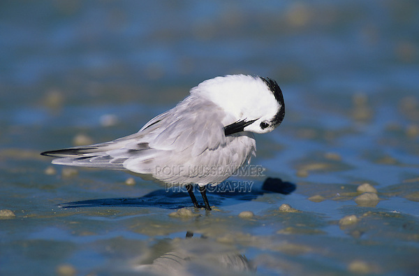 Sandwich Tern, Sterna sandvicensis, adult winter plumage, Sanibel Island, Florida, USA, Dezember 1998