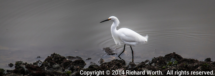 A Snowy egret prowls the shore looking for food.  Image cropped to 8.5X3 perspective.