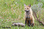 Red fox vixen. Grand Teton National Park, Wyoming.