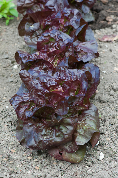 Lettuce 'Red Little Gem' (Lactuca sativa), mid June.
