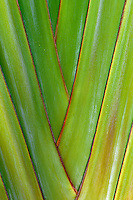 Close up of Traveller's Palm. Hawaii, The Big Island.