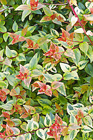 Pink green, yellow leaves of Abelia x Mardi Gras shrub