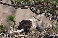 Bald Eagle Nest (Haliaeetus leucocephalus)--adult feeding several week old eaglet in tall ponderosa pine tree.  Oregon.  April.