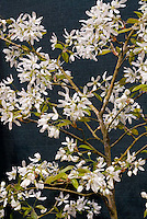 Serviceberry Amelanchier Ballerina in white spring flowers