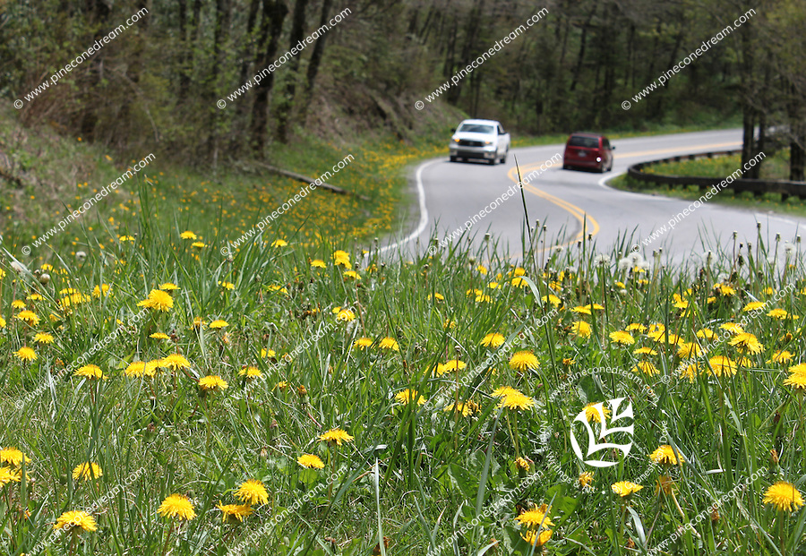 Cars passing by a turning point of the newfound gap road where yellow hawkweed flowers are grown in smoky mountains national park.