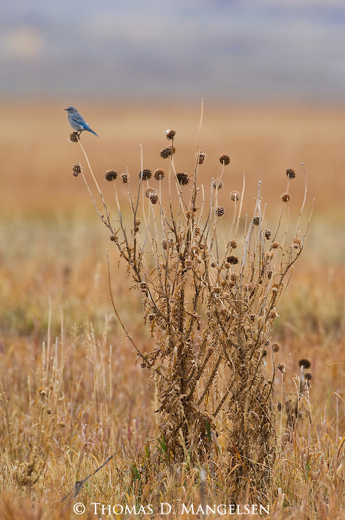 A mountain bluebird perches on a thistle in Grand Teton National Park, Wyoming.