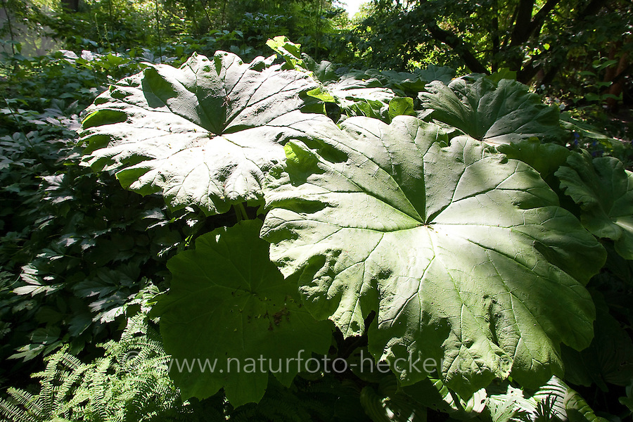 Tafelblatt, Tafel-Blatt, Astilboides tabularis, Shieldleaf, Shield-leaf