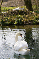 Male mute swan protects female nesting on island in middle of lake, Donnington, The Coswolds, Gloucestershire, UK