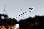 Bird - Marsh Wren on a twig, Wild Birds of Newport Beach, CA. Photo by Alan Mahood.