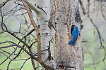 A male mountain bluebird perched at a nesthole in Yellowstone National Park, Wyoming.