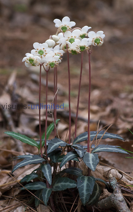 Spotted Wintergreen (Chimaphila maculata).