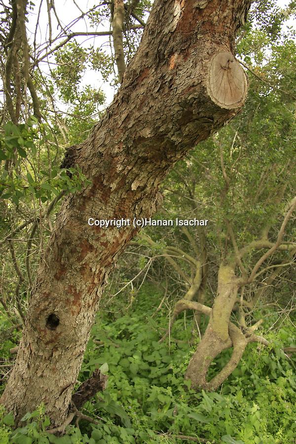 Israel, Jezreel Valley, Mastic tree (Pistacia lentiscus) by Tel Shimron