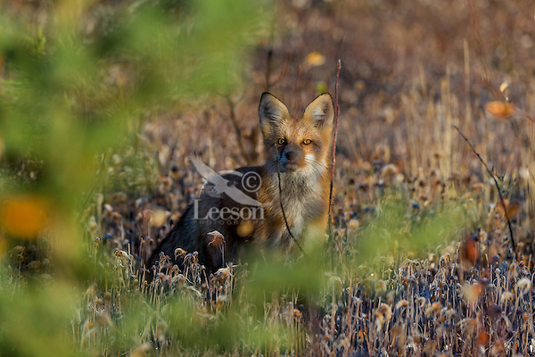 Red Fox (Vulpes vulpes) in frosted field near the Yukon/British Columbia border.  Sept.
