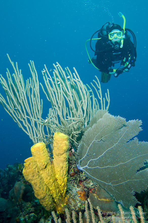 South Caye Wall Dive Site, South Water Caye Marine Reserve, Belize, Central America; a scuba diver swims over a large sea fan, yellow tube sponges and sea rods filled with Sharpnose Puffer (Canthigaster rostrata) fish , Copyright © Matthew Meier, matthewmeierphoto.com All Rights Reserved