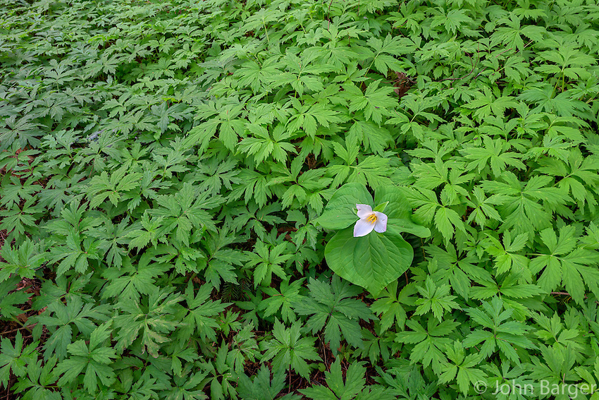 ORPTT_D102 - USA, Oregon, Tryon Creek State Natural Area, Western Trillium (Trillium ovatum) in bloom on forest floor surrounded by leaves of Pacific Waterleaf (Hydrophyllum tenuipes).