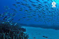 School of Salema fishes Sarpa salpa, by Sea Grass (Licence this image exclusively with Getty: http://www.gettyimages.com/detail/110111191 )