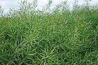 Oil seed rape in pod - Lincolnshire, June
