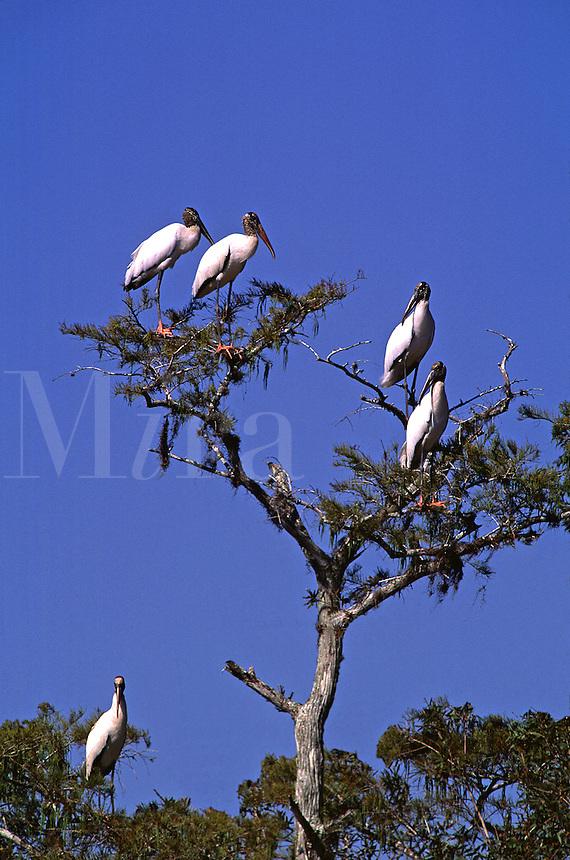 Endangered species of birds - Wood Stork Mycteria americana. Wood Stork. Florida, Corkscrew Swamp Sanctuary.