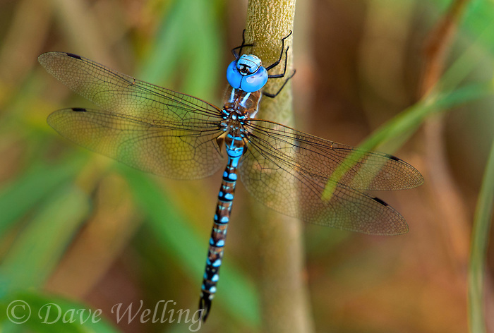 339360053 a wild male blue-eyed darner rhionaeschna multicolor perches on a plant stem near bishop inyo county california