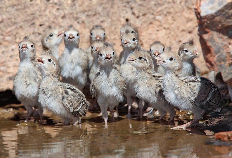 Gambel's Quail - Callipepla gambelii - Chicks