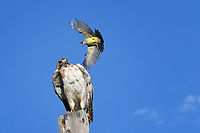 Western Kingbird attacks Red-tailed Hawk, West Texas roadside