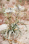 Anza-Borrego Desert State Park, Borrego Springs, California; a white Desert Lily (Hesperocallis undulata) growing out of the sand