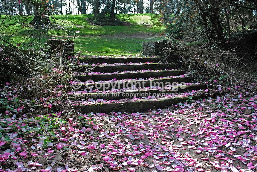 Spring, magnolia petals, stone steps, parkland, Rowallane, Saintfield, Co Down, N Ireland, UK, leisure, recreation, 201203245752..© Victor Patterson, 54 Dorchester Park, Belfast, N Ireland. Tel: +44 2890661296; Mobile: +44 7802 353836; Emails: victorpatterson@me.com & victorpatterson@gmail.com; www.victorpatterson.com