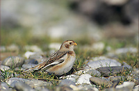 Snow Bunting, Plectrophenax nivalis,female winter plumage, Rheindelta, Germany, November 1998..