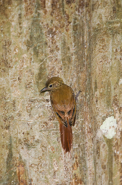 Wedge-billed Woodcreeper, Glyphorynchus spirurus, adult on tree trunk, Carara Biological Reserve, Central Pacific Coast, Costa Rica, Central America