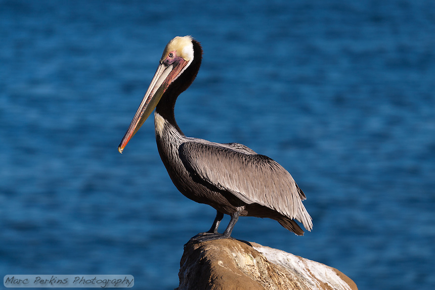 Brown Pelican Standing On A Rock Marc Perkins Photography