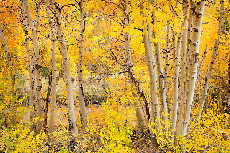 Aspen (Populus tremuloides), also Quaking, Trembling or American Aspen in autumn. Native to northern and western North America. Eastern Sierra Nevada Mountains near Bishop, Inyo National Forest, Inyo County, CA.