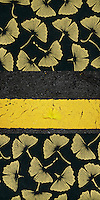"""Autumn Gingko <br /> I saw this while crossing the street on my walk to work <br /> one autumn morning in Jeju City.<br /> 24""""x36"""" Digital c-print with lokta paper"""